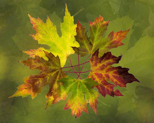 Maple Leaf Arrangement Art Print