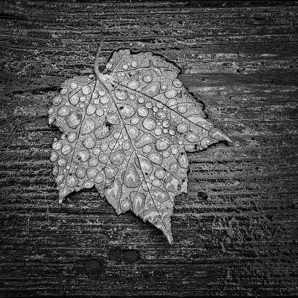 Photograph - Maple Leaf Covered In Dew by Jeff Sinon