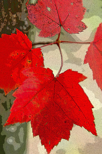 Maple Leaf Display Art Print