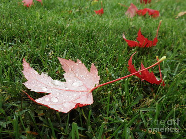 Maple Leaf In Canada Art Print