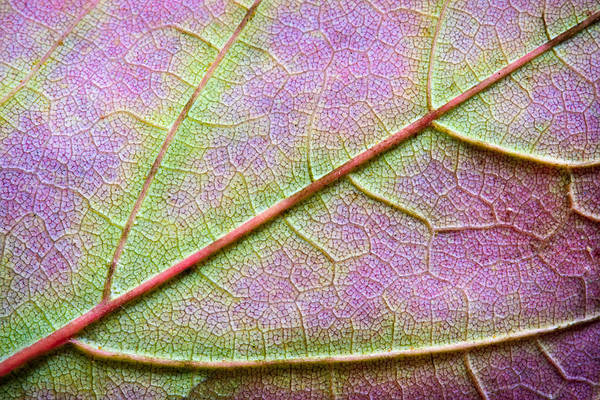 Wall Art - Photograph - Maple Leaf Macro by Adam Romanowicz