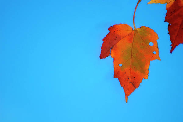 Wall Art - Photograph - Maple Leaf by Maria Mosolova/science Photo Library