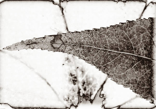 Photograph - Maple Leaf Nature 4 Macro  Image Art by Jo Ann Tomaselli