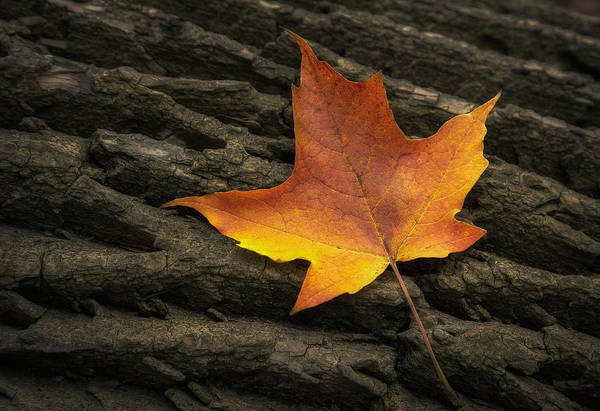 Orange Wood Photograph - Maple Leaf by Scott Norris