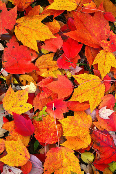 Photograph - Maple Leave Carpet by Ray Mathis