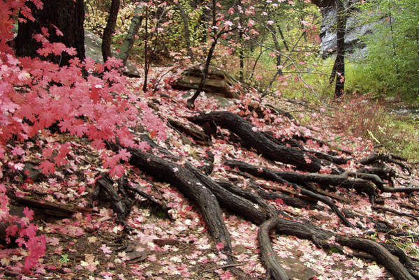 Photograph - Maple Leaves And Tree Roots by Eva Rau