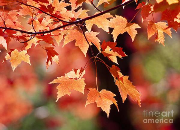 Photograph - Maple Leaves I by Steven Ralser