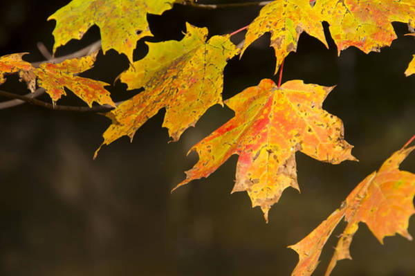 Photograph - Maple Leaves In Autumn by Larry Bohlin