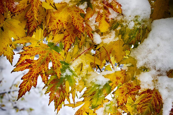 Photograph - Maple Leaves In The Snow by James BO Insogna