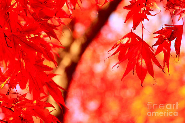 Photograph - Maple Leaves In Vivid Vermillion by Beverly Claire Kaiya