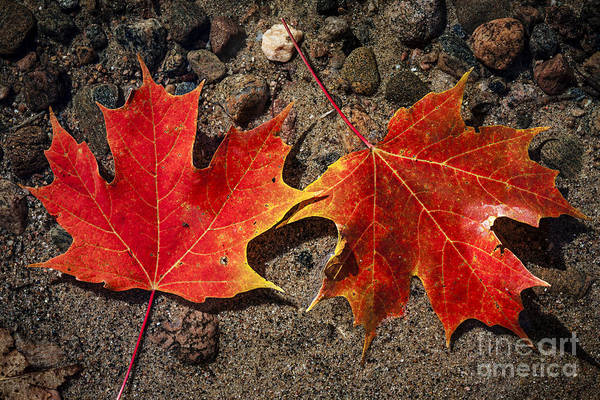 Wall Art - Photograph - Maple Leaves In Water by Elena Elisseeva