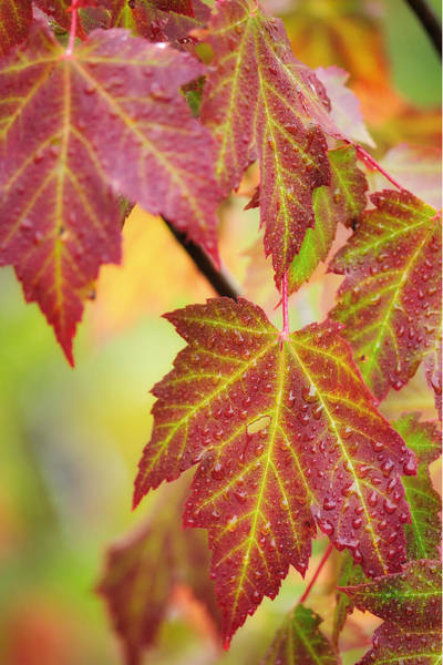 Photograph - Maple Leaves by John Kiss