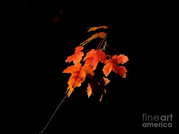 Photograph - Maple Leaves by Marcia Lee Jones