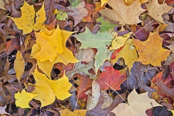 Photograph - Maple Leaves by Steven Ralser
