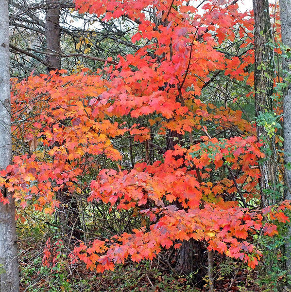 Photograph - Maple Rush In The Fall by Duane McCullough