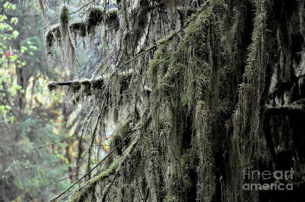 Olympic Club Photograph - Maple Tree Covered With Moss In Hoh Rain Forest  3 by Tanya  Searcy