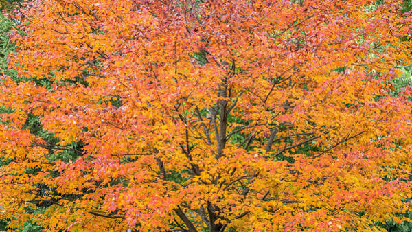 Photograph - Maple Tree In Autumn by Pierre Leclerc Photography