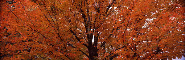Peacefulness Photograph - Maple Tree In Autumn, Vermont, Usa by Panoramic Images