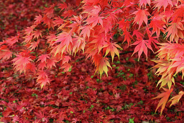 Season Photograph - Maple Tree In Blaze Of Autumn Colour by Rosemary Calvert