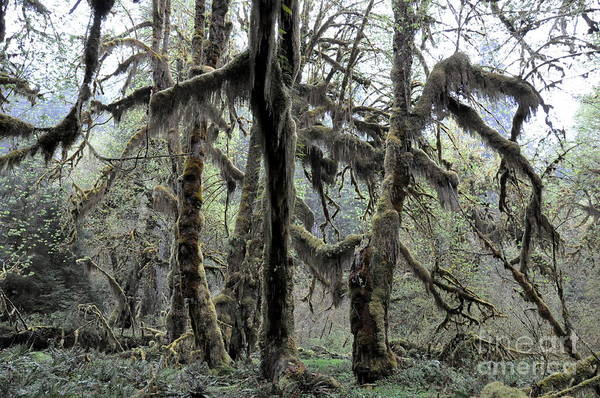 Olympic Club Photograph - Maple Trees Covered With Moss In Hoh Rain Forest  2 by Tanya  Searcy