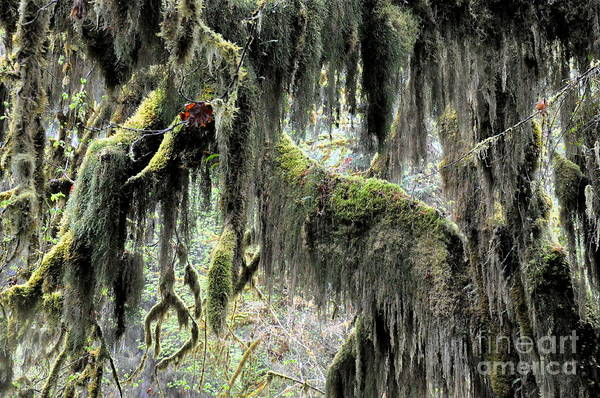 Olympic Club Photograph - Maple Trees Covered With Moss In Hoh Rain Forest  4 by Tanya  Searcy