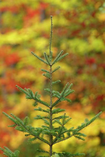 Wall Art - Photograph - Maple Trees In Fall Color, Hiawatha by Adam Jones