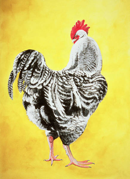 Fowl Painting - Maran Cockrel by Jeanne Maze