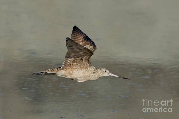 Scolopacidae Photograph - Marbled Godwit by Anthony Mercieca