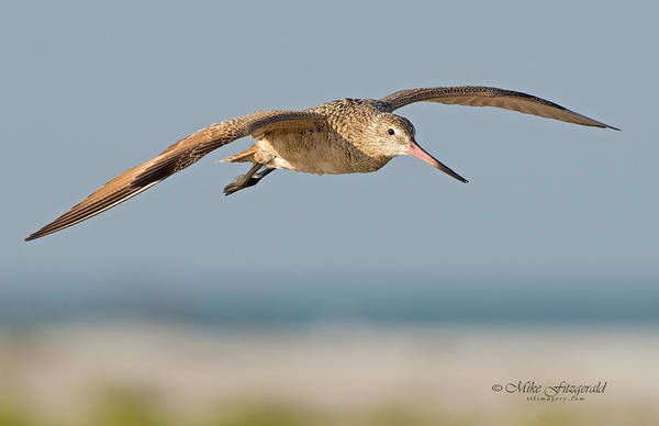 Photograph - Marbled Godwit by Mike Fitzgerald