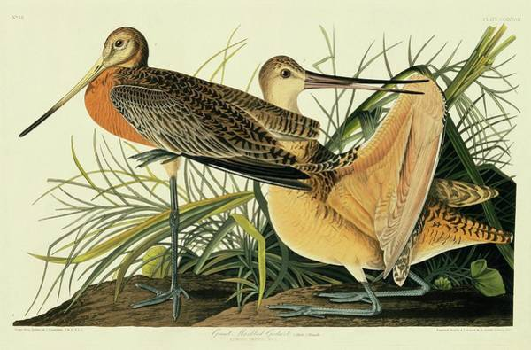 Wall Art - Photograph - Marbled Godwit by Natural History Museum, London/science Photo Library
