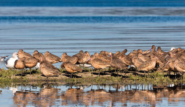Scolopacidae Photograph - Marbled Godwits Reflected by Kathleen Bishop