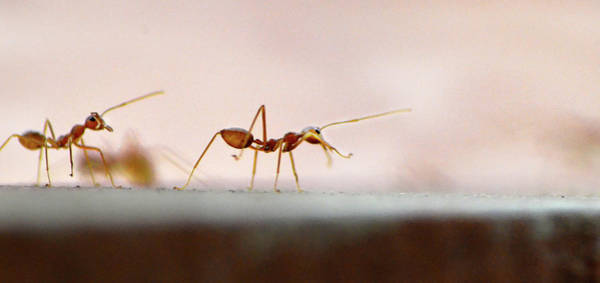 Ant Photograph - March Of The Ants by Photograph By Anindya Sankar Dey