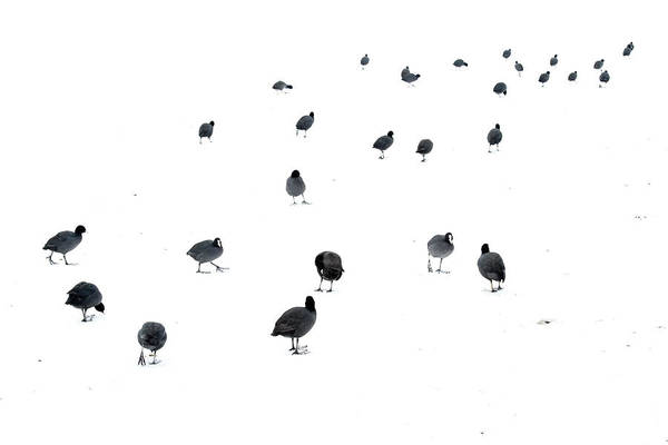 Wall Art - Photograph - March Of The Coots by Andrew George