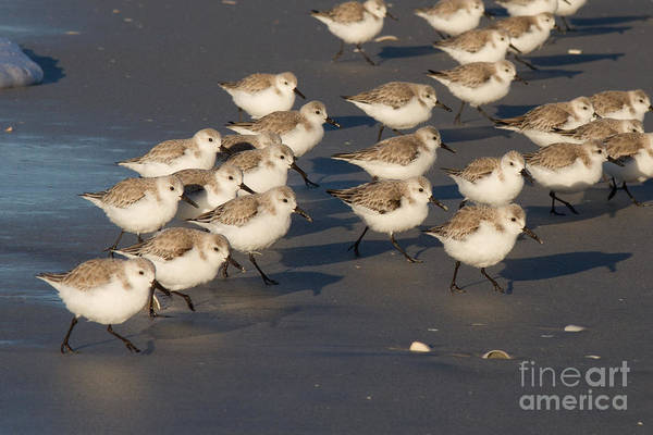 Photograph - March Of The Sanderlings by Chris Scroggins