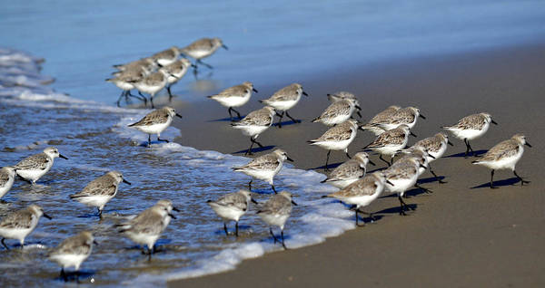Sandpiper Photograph - March Of The Sandpipers by Fraida Gutovich