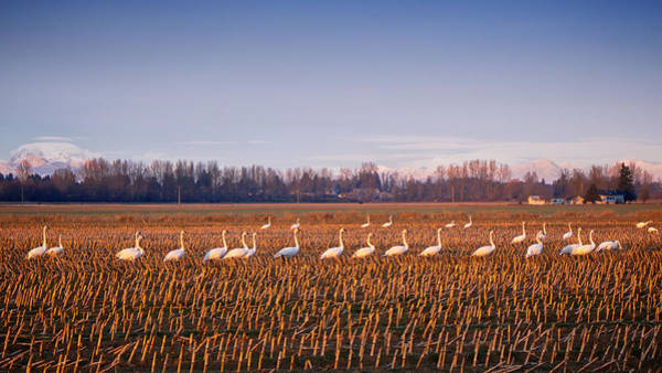 Photograph - March Of The Swans by Mary Lee Dereske