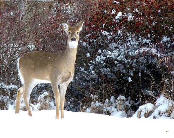 March Snow And A Doe Art Print