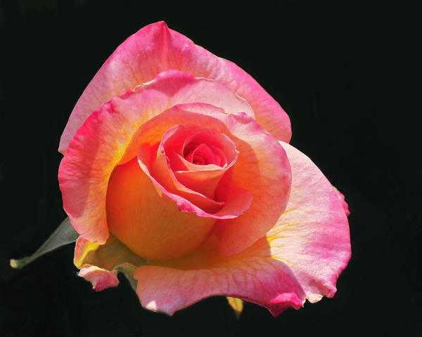 Photograph - Mardi Gras Floribunda Rose by Rona Black