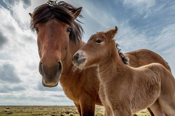 Mare Photograph - Mare And Foal by Arctic-images