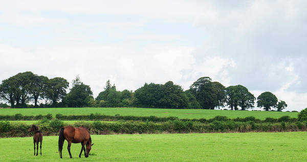 Mare Photograph - Mare And Foal Grazing In A Field In by Leverstock