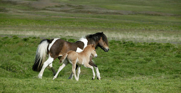 Wall Art - Photograph - Mare And Foal, Iceland by Animal Images