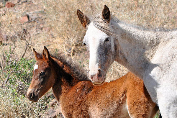 Photograph - Mare And Foal by Lula Adams