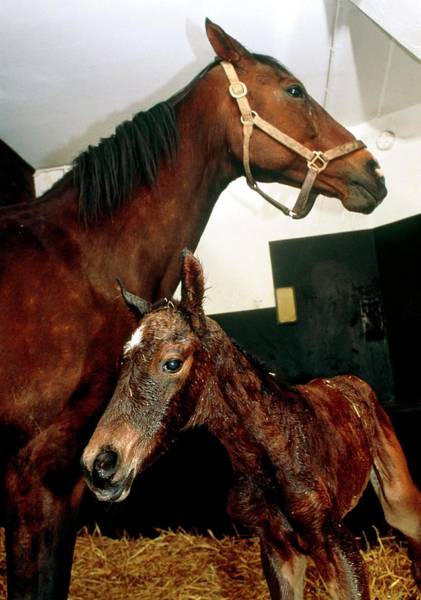 Mare And Foal Photograph - Mare And Her Newborn Foal (equus Caballus) by Pascal Goetgheluck/science Photo Library