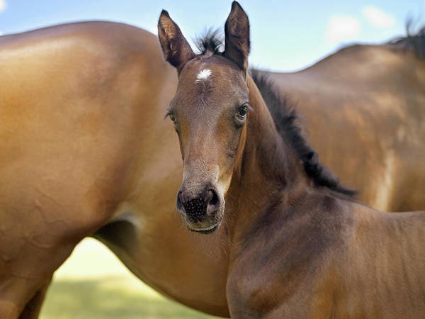 Mare Photograph - Mare And New Born Foal by Southern Stock