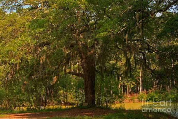 Photograph - Margaret Morrison Meyer Memorial Oak by Adam Jewell