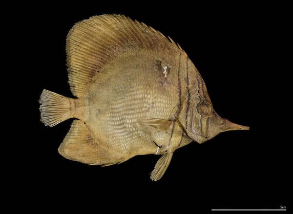 Wall Art - Photograph - Margined Coralfish by Natural History Museum, London/science Photo Library