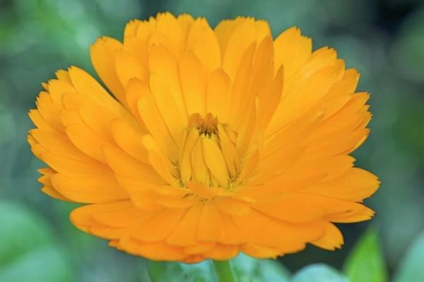 Fiesta Photograph - Marigold (calendula 'fiesta Gitana') by Ann Pickford/science Photo Library