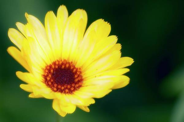 Medicinal Photograph - Marigold (calendula Officicinalis) by Maria Mosolova/science Photo Library