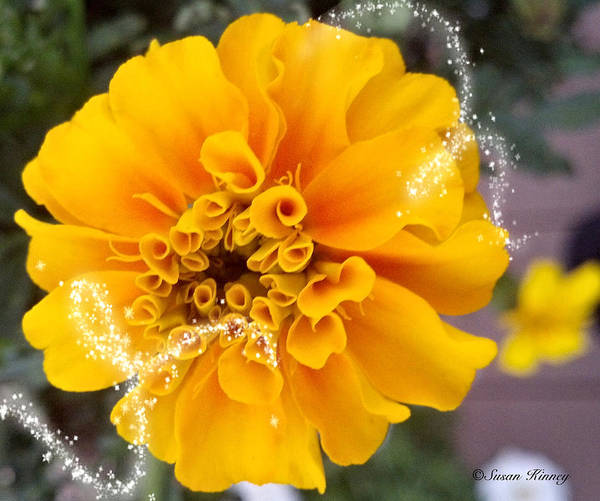 Digital Art - Marigold by Susan Kinney
