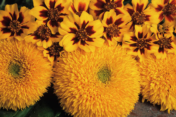 Helianthus Annuus Photograph - Marigolds And Sunflowers by Ann Pickford/science Photo Library
